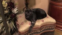 Image of American Shorthair black smoke reclining on fancy chair
