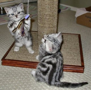 Image of two American Shorthair silver tabby kittens play with sparkle toy hanging from cat tree