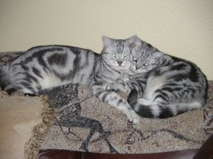 Image of two American Shorthair cats sleeping together on carpet