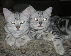 Image of two American Shorthair silver tabbies resting together on sofa