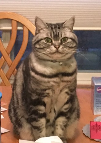 OP-Minnie-Oct-27-2017-American-Shorthair-classic-silver-tabby-cat-sitting-on-table