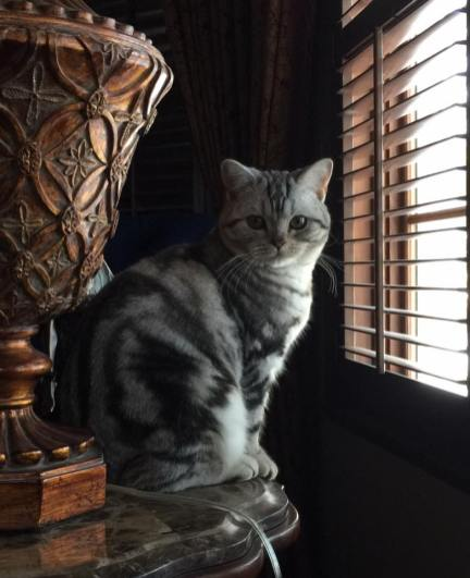Image of American Shorthair classic silver tabby cat sitting on side table in front of window face view