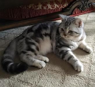 OP-Nani-Dec-11-2015-American-Shorthair-classic-silver-tabby-cat-with-plush-coat-reclining-on-carpet