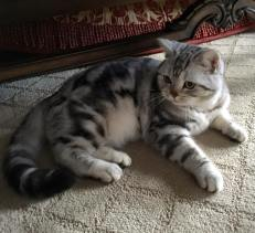 Image of American Shorthair classic silver tabby cat with plush coat reclining on carpet