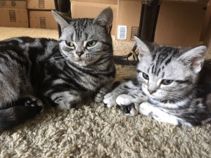 Image of American Shorthair silver tabby kitten and cat lying on carpet