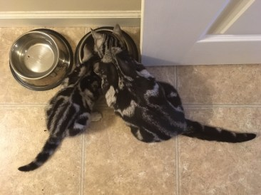 Image of American Shorthair silver tabby kitten and cat sharing a food dish