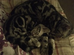 Image of American Shorthair silver tabby kitten curled up sleeping with adult silver tabby cat