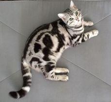Image of American Shorthair silver tabby cat lying on tile floor