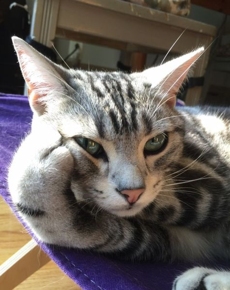 Image of American Shorthair silver tabby cat resting head on paw