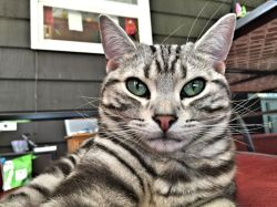 Image of American Shorthair silver tabby cat taking a selfie on the back patio