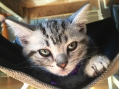 Image of American Shorthair silver tabby kitten lying in hammock chair