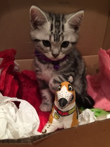 Image of American Shorthair silver tabby kitten playing in box of tissue paper with toy puppy