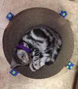 Image of American Shorthair silver tabby kitten sleeping on round scratching pad