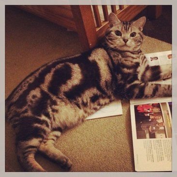Image of American Shorthair silver tabby cat lying on magazine