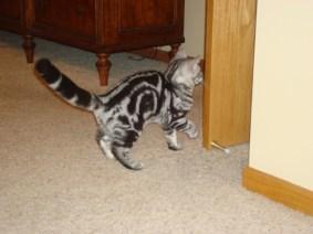 Image of American Shorthair silver tabby cat looking through open doorway