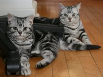 Image of two American Shorthair silver tabby cats lying on wood floor