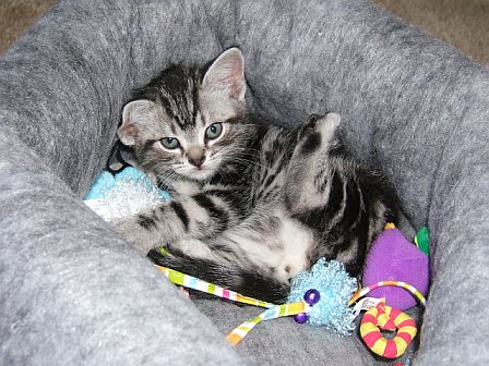 Image of American Shorthair silver tabby kitten playing with new toys