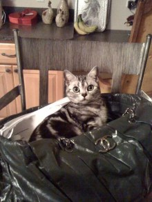 Image of American Shorthair silver tabby sitting in Channel bag