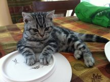 Image of American Shorthair silver tabby kitten with paws on bumble bee plate