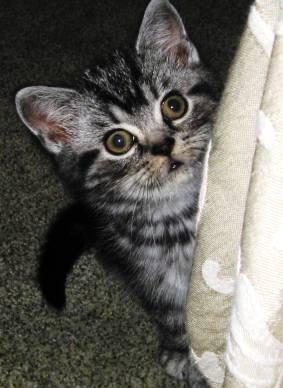 Image of American shorthair silver tabby kitten peeking around a curtain