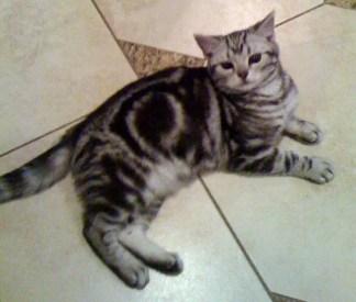 Image of American Shorthair silver tabby cat lying on tile floor showing bullseye marking