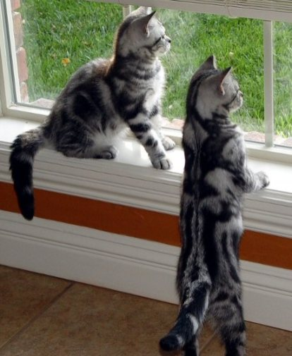 Image of two American Shorthair Silver tabby kittens standing on hind feet to look out window