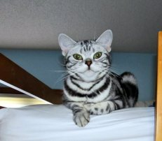Image of smiling American Shorthair silver tabby kittens stretched out on bed