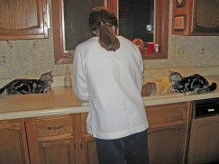 Image of Two American shorthair silver tabby kittens watch dishwashing