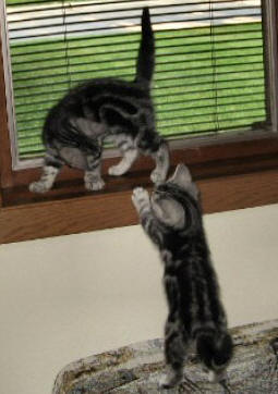Image of two American Shorthair silver tabby kittens playing on windowsill