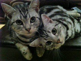 Image of two American Shorthair silver tabby cats snuggled up together