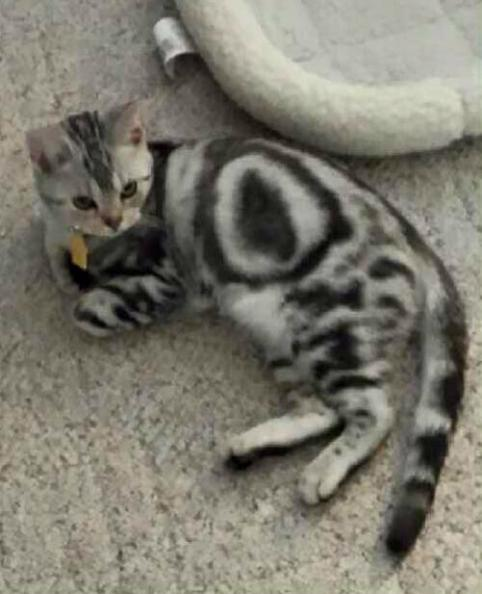 Image of Zeiler Louise OR Dec 12 2015 American Shorthair cat with perfect bullseye reclining on carpet showing perfect bullseye