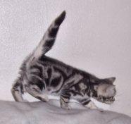 Image of American Shorthair sliver tabby kitten