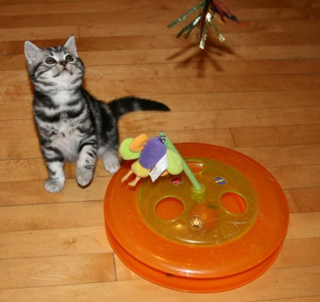 Image of American Shorthair silver tabby kitten playing with orange cat toy