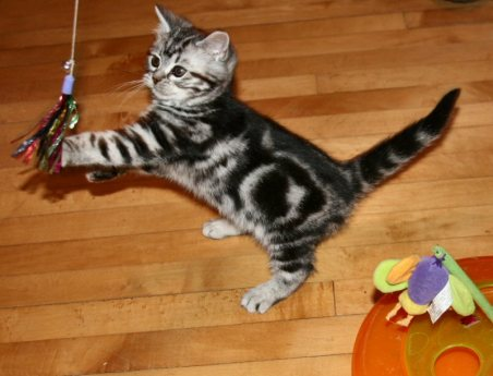Image of American Shorthair silver tabby kitten playing with sparkler cat toy