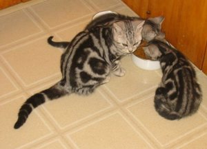 Image of mother silver tabby American Shorthair and 2 kittens eating on vinyl floor side view