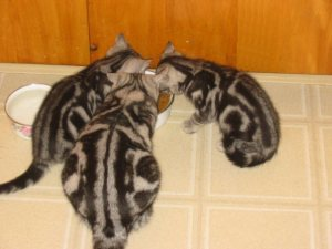 Image of mother silver tabby American Shorthair and 2 kittens eating on vinyl floor top view