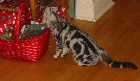 Image of American Shorthair Silver tabby cat looks in red Christmas basket full of presents left side view