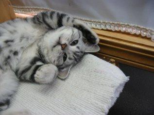 Image of American Shorthair silver tabby kitten lying on back showing belly spots in front of window