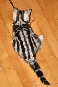 Image of American Shorthair silver tabby kitten on wood floor top view showing dorsal stripes and tail rings