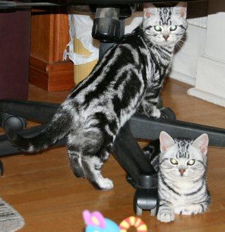 Image of American Shorthair silver tabbies under office chair