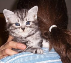 Image of Fluffy american shorthair silver tabby kitten sitting on womans shoulder beside her ponytail