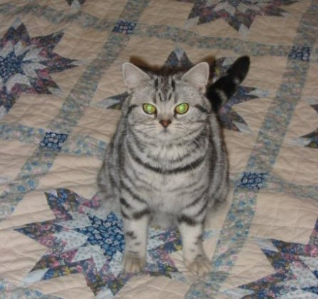 Image of American Shorthair silver tabby sitting on quilt