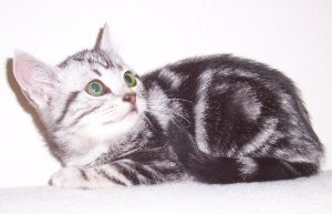 Image of silver tabby American Shorthair kitten with green eyes lying on white blanket