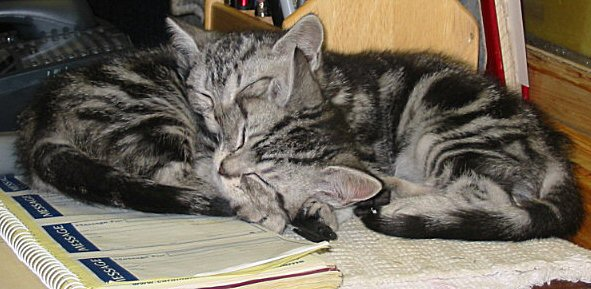 Image of two silver tabby American Shorthair kittens asleep on office desk