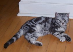 Image of silver tabby American Shorthair lying on wood floor
