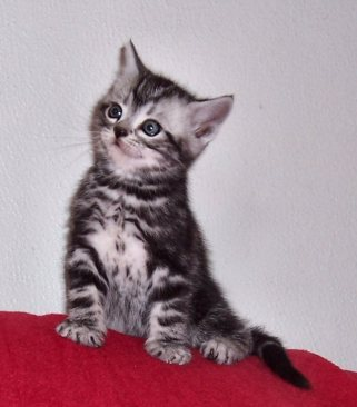 Image of American Shorthair classic silver tabby kitten