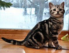 Image of American Shorthair silver tabby male kitten sitting in front of snowy window