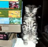 Image of American Shorthair silver tabby kitten with belly spots standing on hind legs beside stack of puzzle boxes