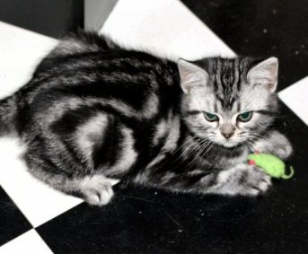 Image of American Shorthair silver tabby kitten on black and white checkerboard floor