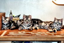 Image of four American Shorthair silver tabbies lying on table with a partially completed jigsaw puzzle